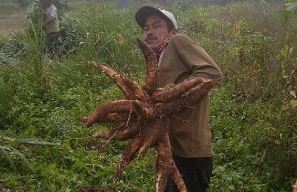 Jeritan Petani Singkong di Lamteng, Harga Anjlok Refaksi Tinggi
